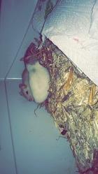 Buzz Et Pépito, rongeur Rat