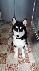 Byka, chien Husky sibérien