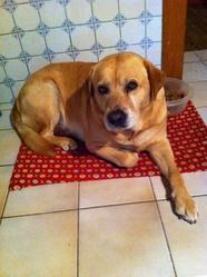 Bylou, chien Labrador Retriever