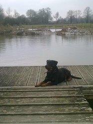 Byron, chien Rottweiler