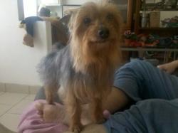 Byron, chien Yorkshire Terrier