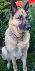 Byron, chien Berger allemand
