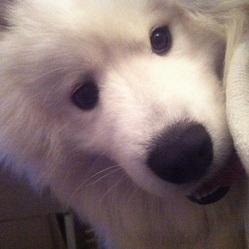 Byron, chien Samoyède