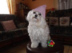 C'Est Moi Flipo, chien Bichon maltais