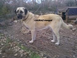 C Kiraz Kangal, chien Berger d'Anatolie