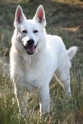 C'Sirius, chien Berger blanc suisse