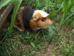 Pimpon, rongeur Cochon d'Inde