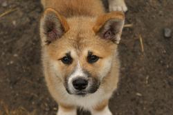 Kirikou, chien