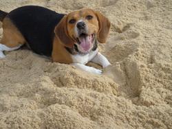 Eliot, chien Beagle