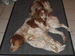 Jessy, chien Épagneul breton