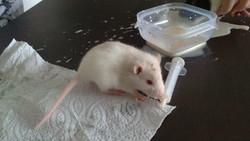 Mandise, rongeur Rat