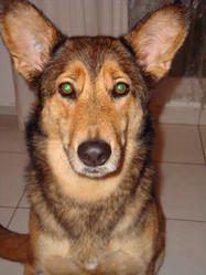 Wicky, chien Berger allemand