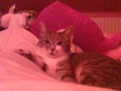 Frodon, chat Européen