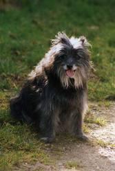 Cara, chien Berger des Pyrénées