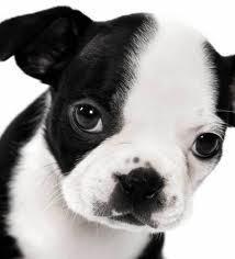 Jujubee, chien