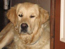 Automne, chien Golden Retriever