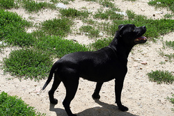 Cocaine, chien Staffordshire Bull Terrier