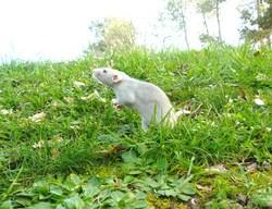 Cendre, rongeur Rat