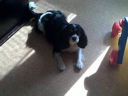 Bahia, chien Cavalier King Charles Spaniel