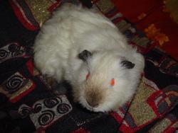 Poutout, rongeur Cochon d'Inde