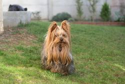 Ugo, chien Yorkshire Terrier