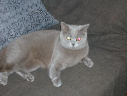 Bloona, chat British Shorthair