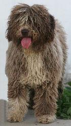 Gordneuc De Ubrique, chien Chien d'eau espagnol