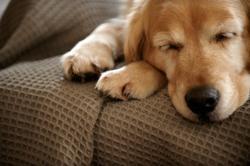 Darling, chien Labrador Retriever