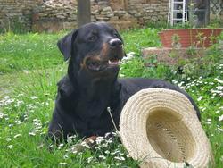 Temoso, chien Rottweiler