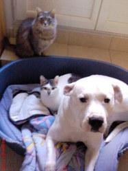 Nafi, chien Dogue argentin