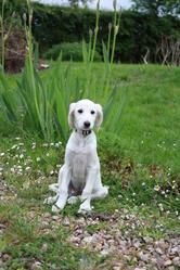 Boumerangue , chien