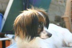 Florelle, chien Épagneul nain continental