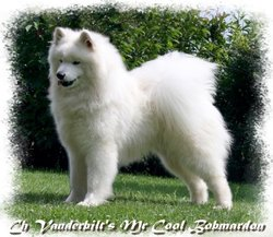 Mister, chien Samoyède