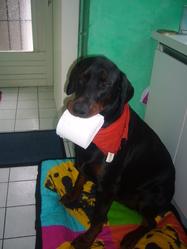Fako, chien Dobermann