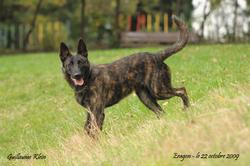 Eragon , chien Berger hollandais