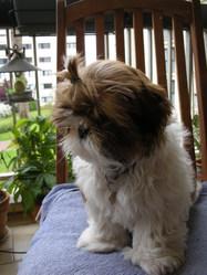 Bimbah, chien Shih Tzu
