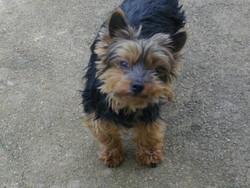 Rikles, chien Yorkshire Terrier