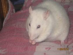 Pinkie, rongeur Rat