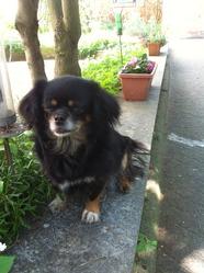 Mademoiselle, chien Épagneul tibétain