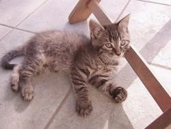 Cleopatre, chat Gouttière