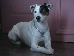 Canaille, chien Parson Russell Terrier