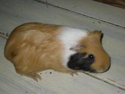 Mr Pig, rongeur Cochon d'Inde