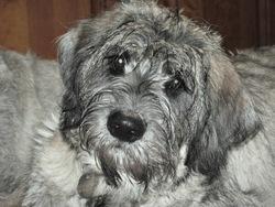 Ouadjet Des Sc D'h-B, chien Schnauzer