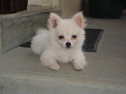 Sissi, chien Spitz allemand