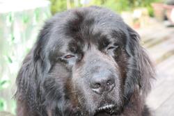 Ulysse, chien Terre-Neuve
