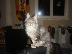 Foly, chat Maine Coon