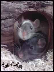 Rapido, rongeur Rat