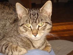 Tigrou, chat