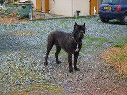 Virus, chien Cane Corso