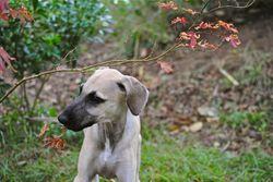 Ghalib, chien Sloughi